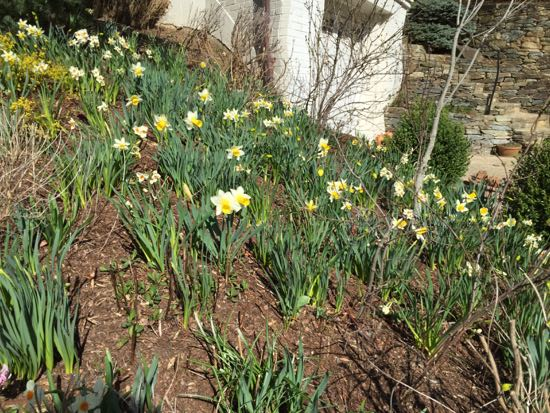 hillside of daffodils