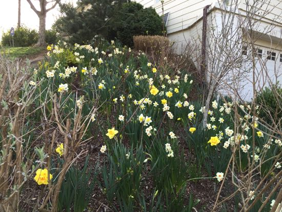 my hillside daffodil drift