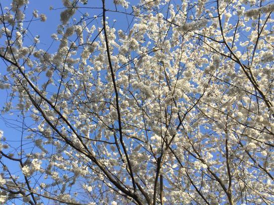 my own cherry blossom festival